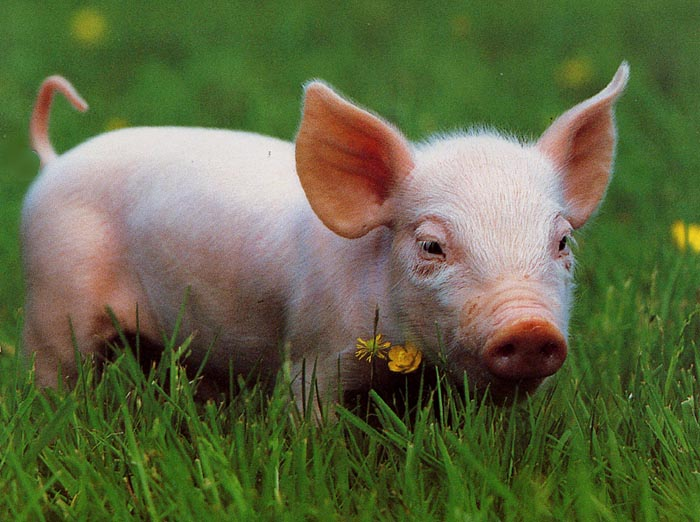 Ces cochons me font du bien 3
